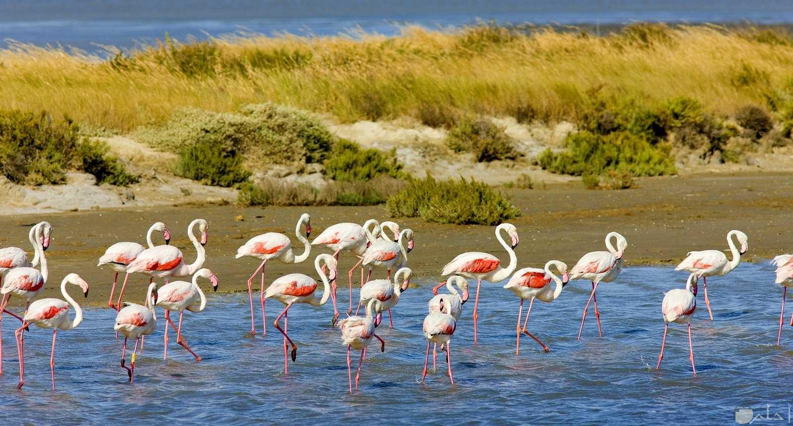 منظر طبيعي جميل لبحيرة وسط الطبيعة الخضراء و بها طيور البجع البرية الجميلة.