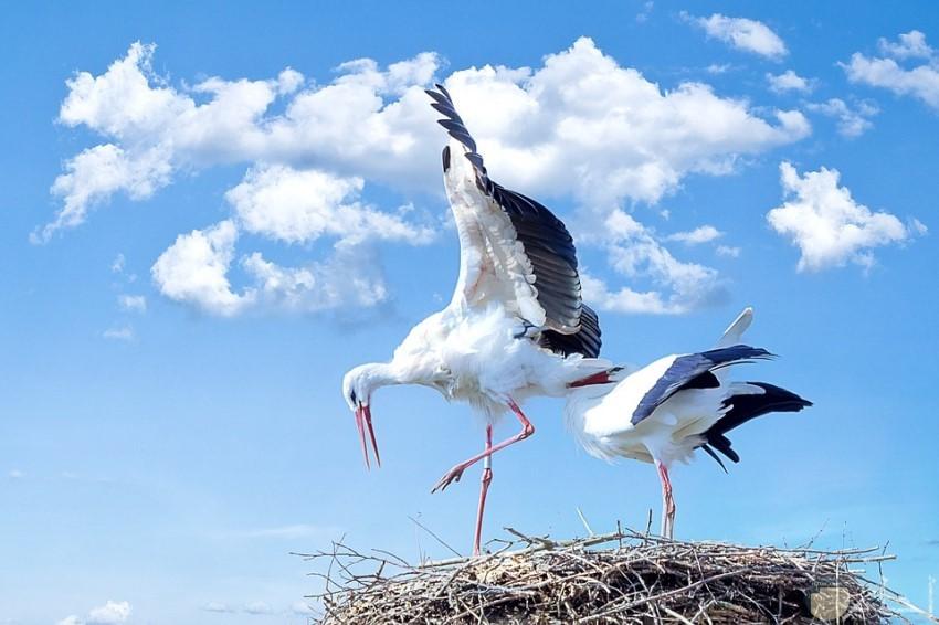 زوج من الطيور في عشهما