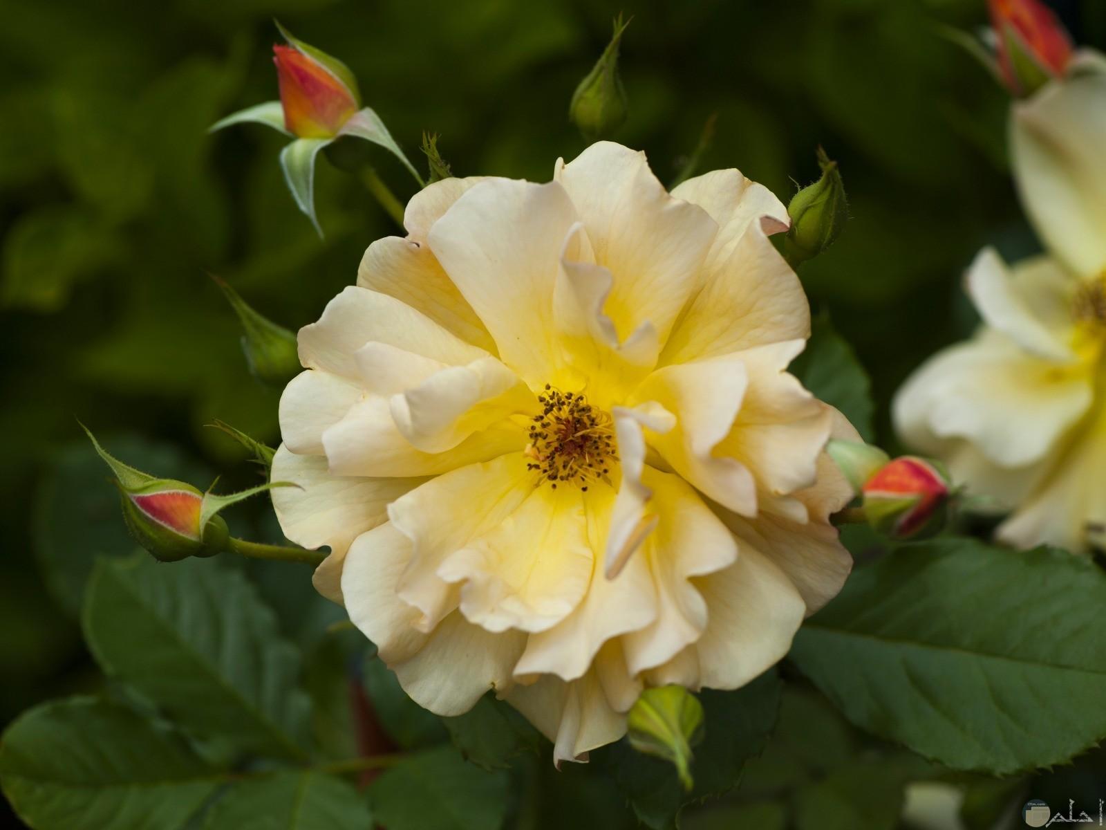 زهرة صفراء رقيقة جدا