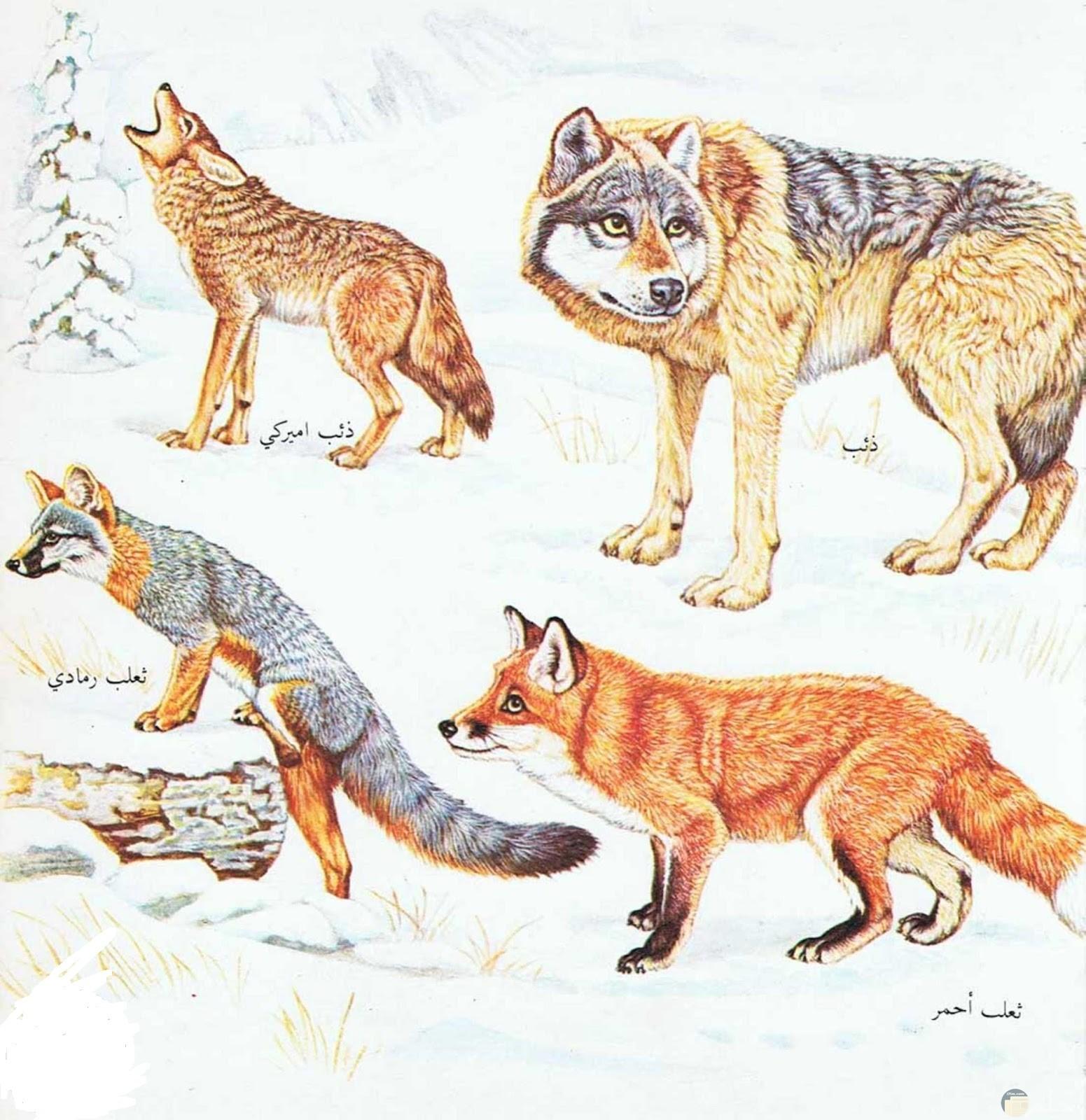 الفرق في الشكل بين الذئب و الثعلب.