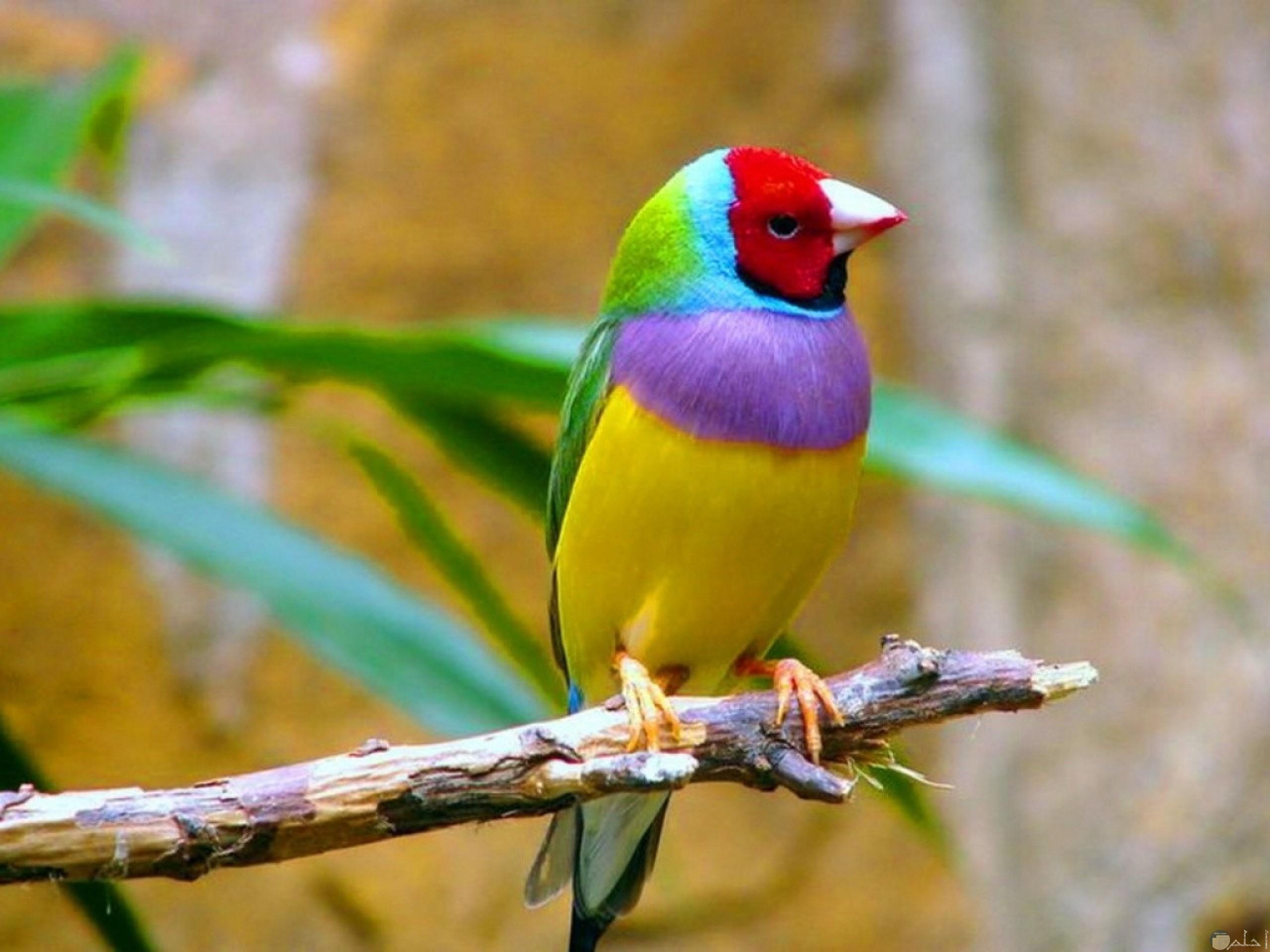 طائر جميل يتميز بالوانه المبهجة والجذابة
