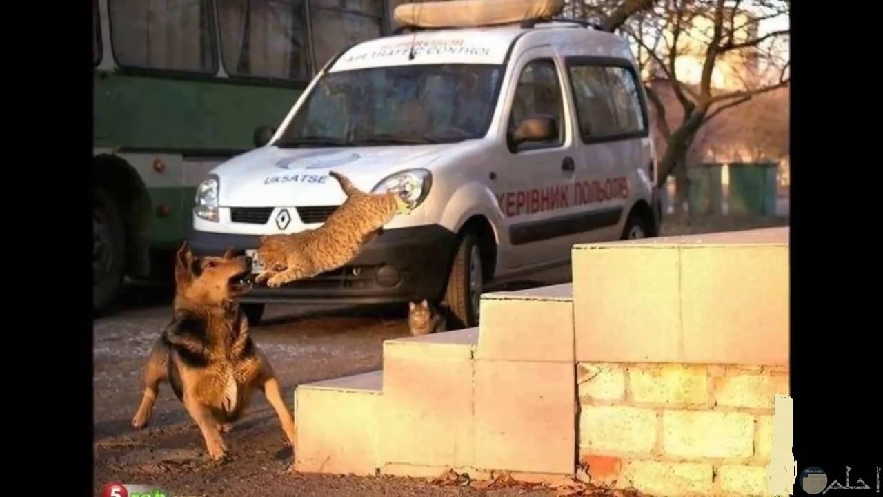 قطة تهجم على كلب.