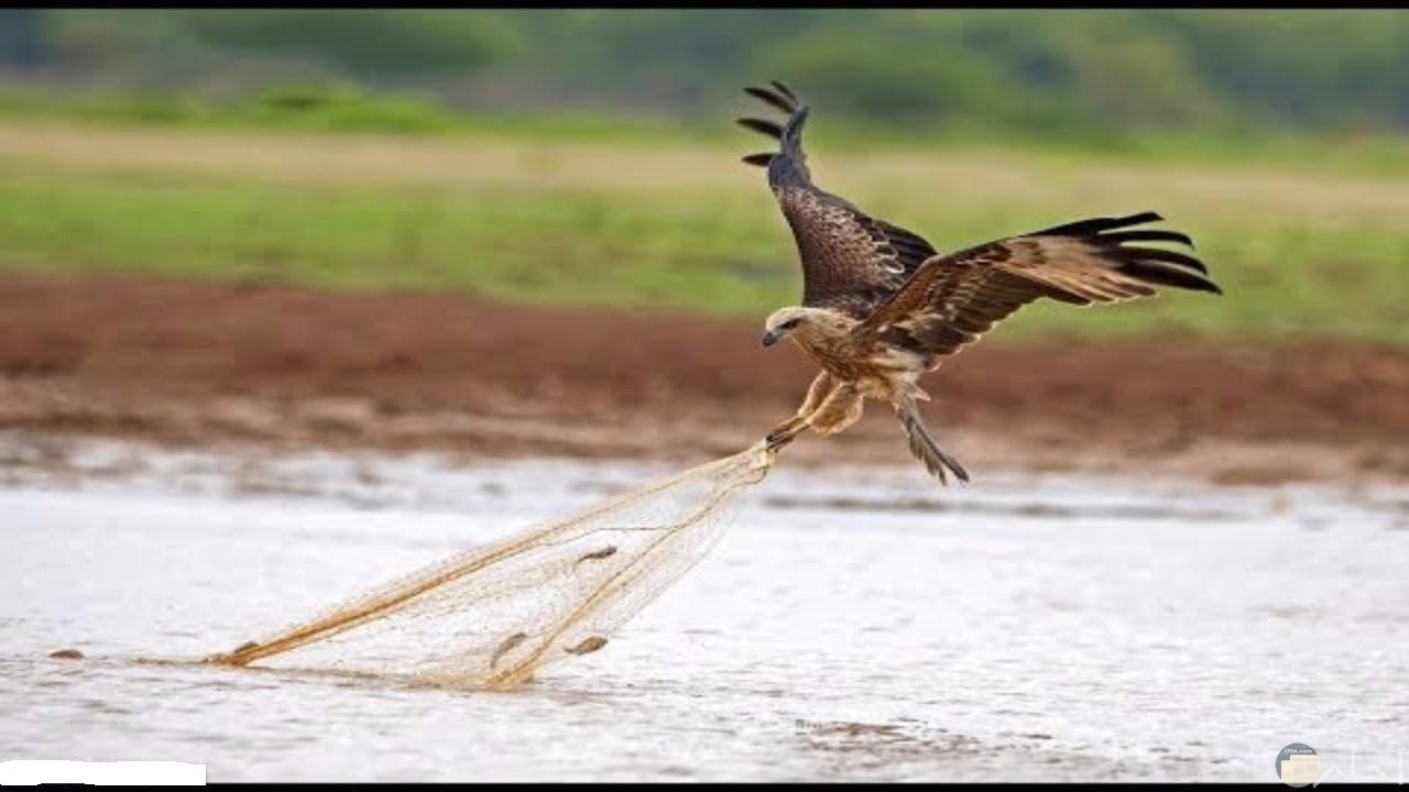 صقر يأخذ السمك من شبكة صياد.