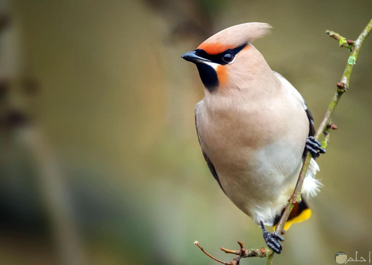 طائر نادر ومميز ورائع لونه ابيض فى اسود فى اصفر فى برتقالى