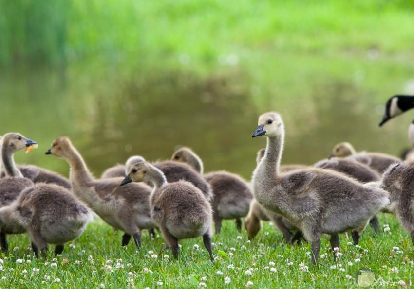 مجموعة من البط الصغير