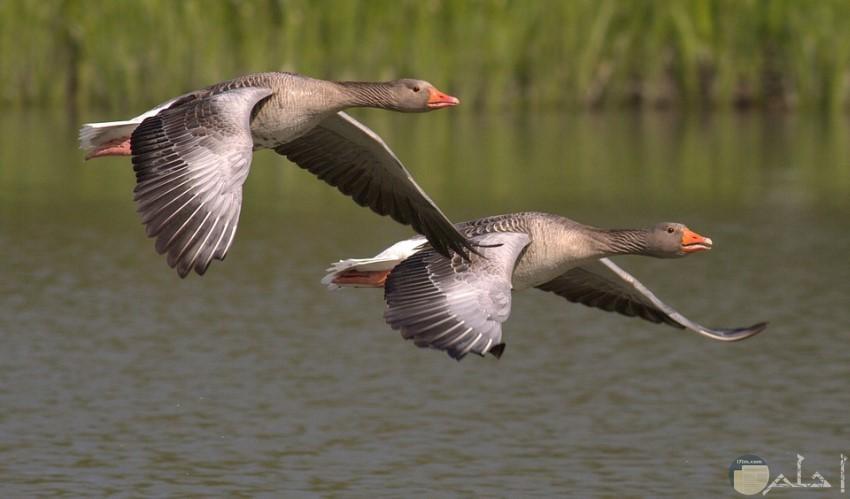 طيور محلقة رائعة