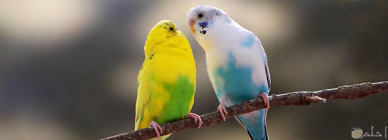 طيور زينة رائعة