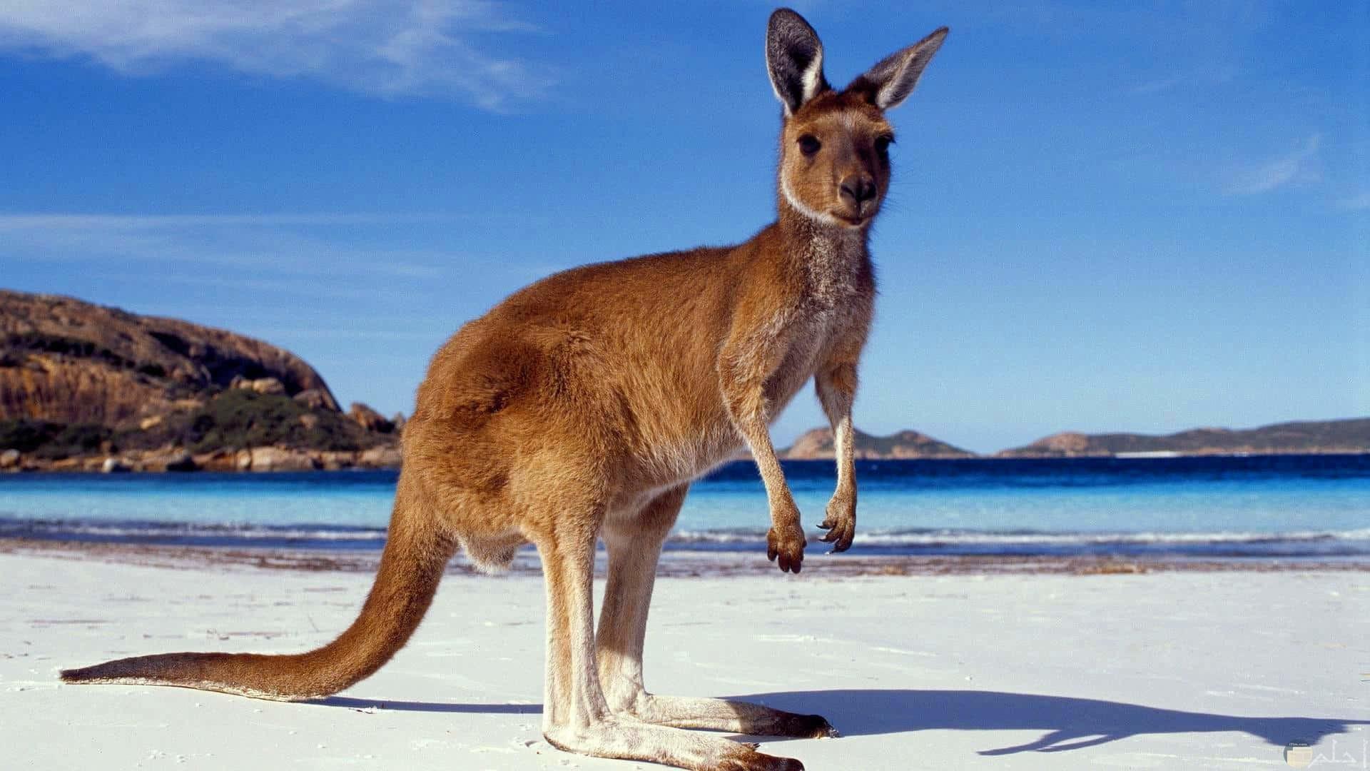 الكنجرو: و يشتهر بأنه الحيوان الوحيد الذي لا يشرب الماء بل يصنعه في جسده.