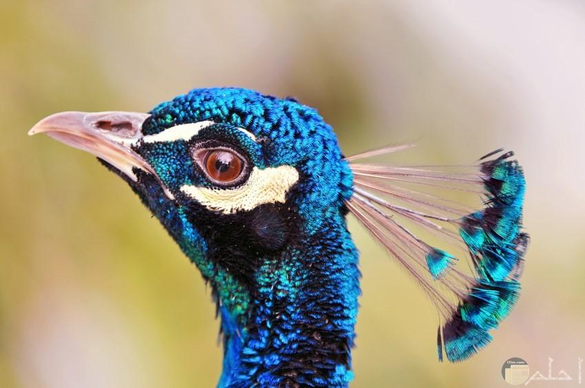 طاووس جميل