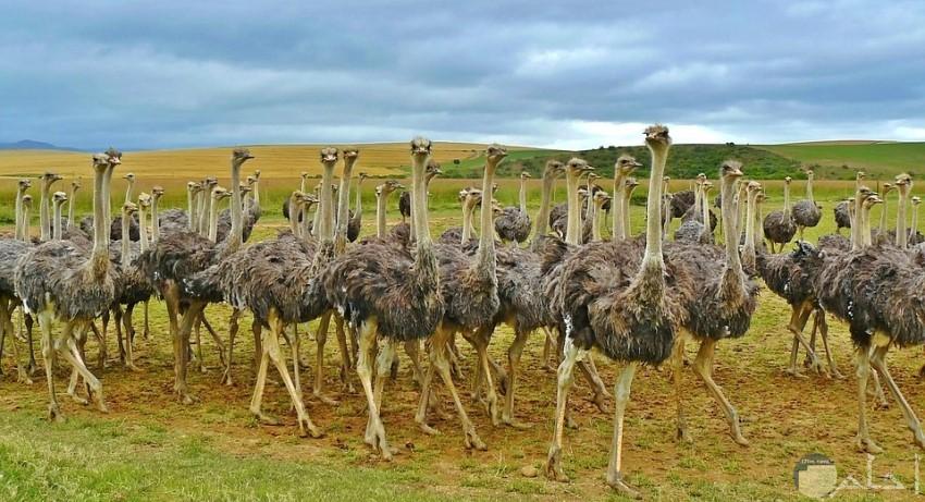 مجموعة رائعة من النعام في الحقول