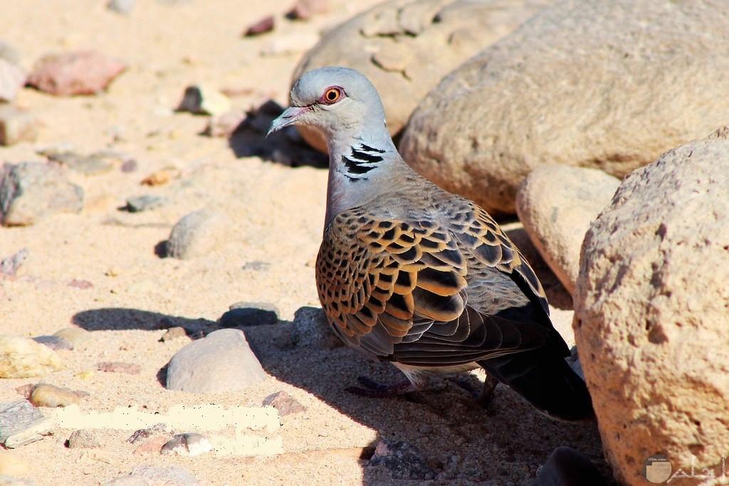 طائر القماري بجوار صخرة جميلة في البرية.