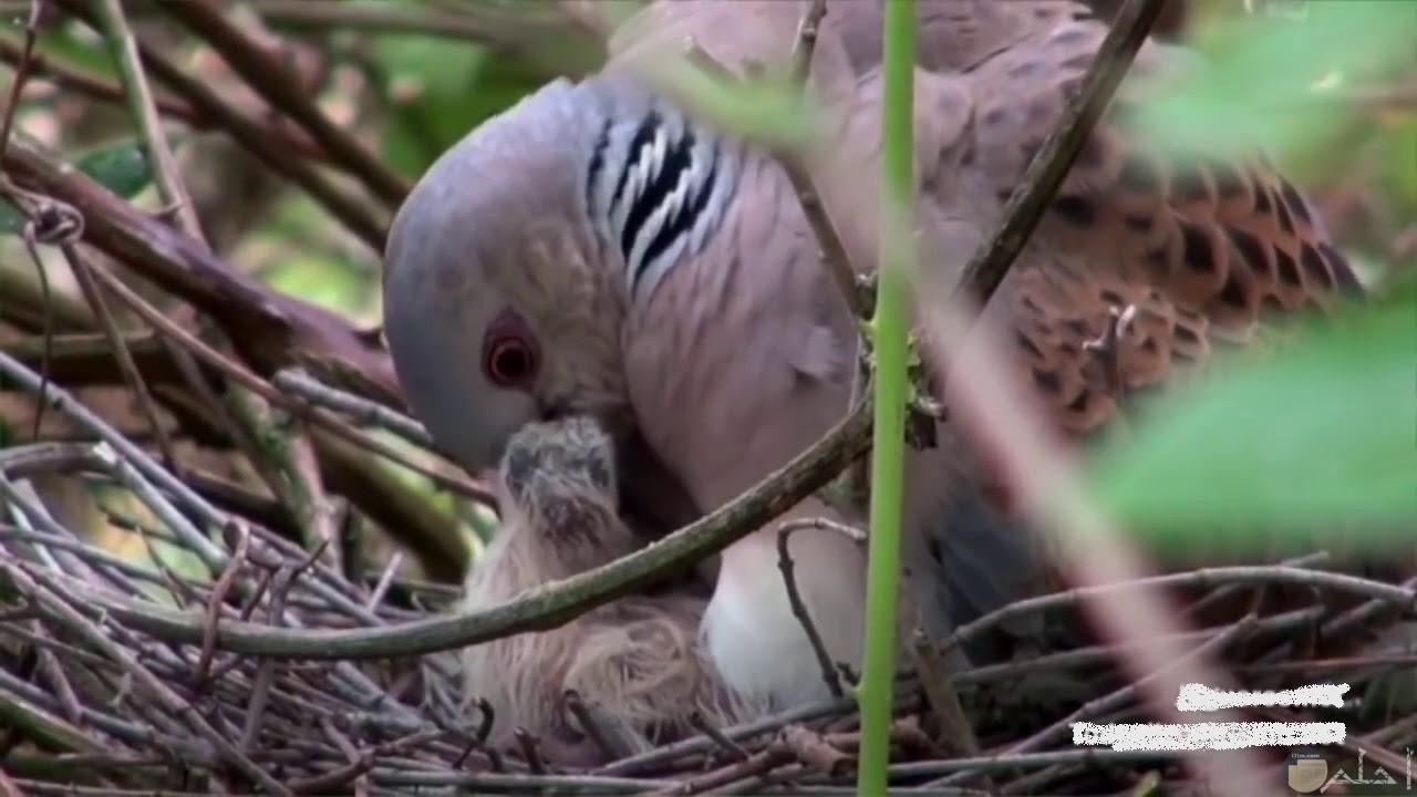 صغير طائر القماري يظهر تحت أمه الراقدة عليه لتدفئته.