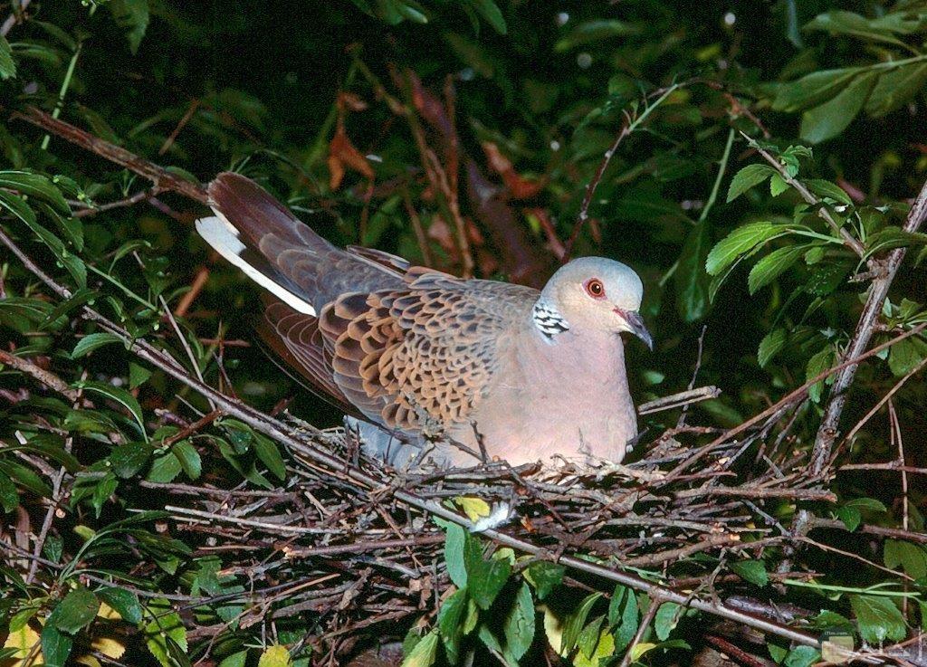 طائر القماري و هو يرقض على البيض في عش بين الأغصان.