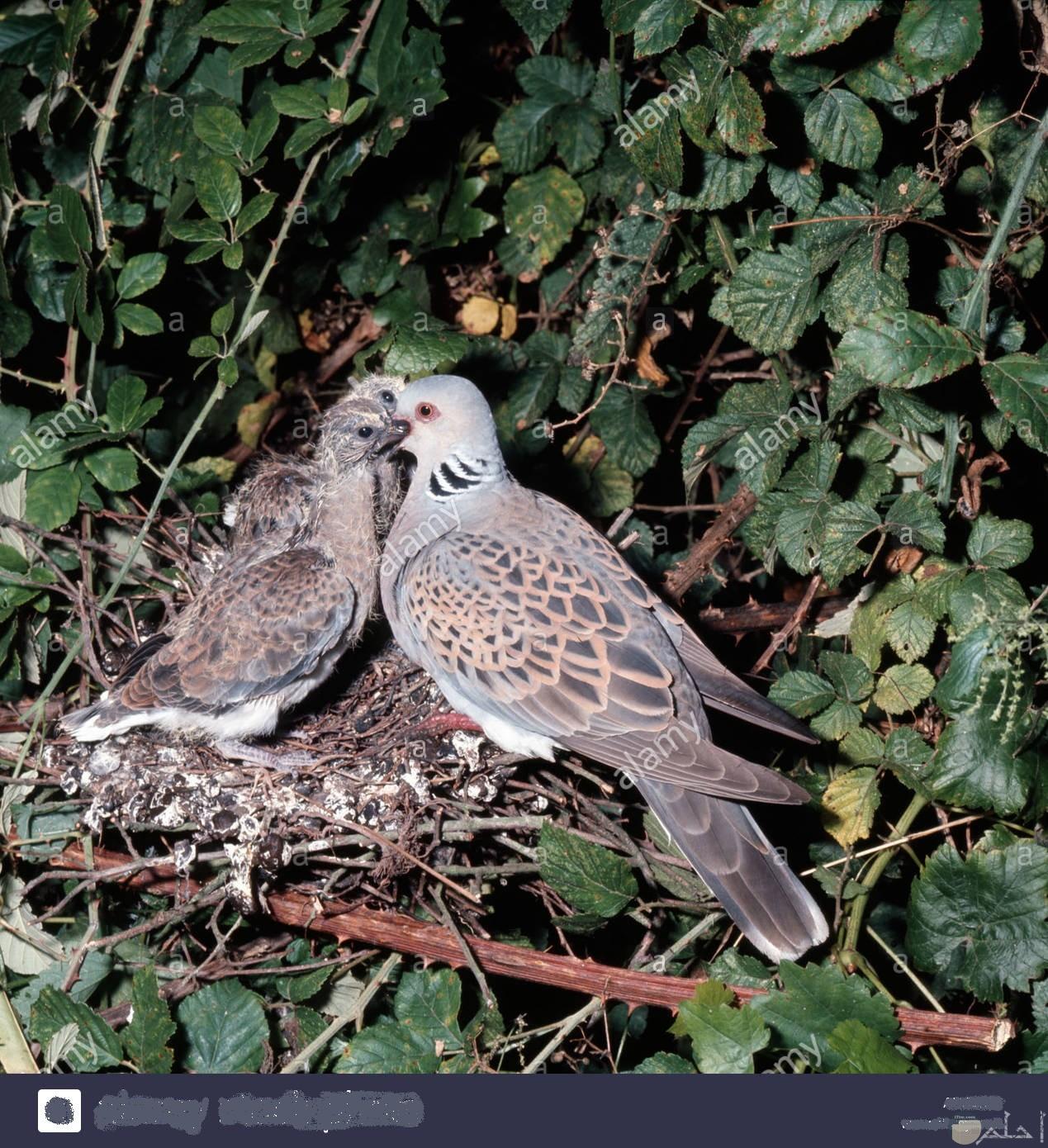 لقطة جميلة و نادرة لطائر القماري و هو يطعم صغاره في العش.