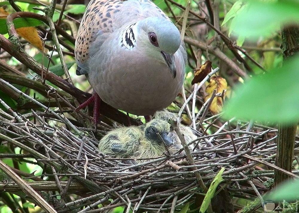 لقطة جميلة لطائر القماري مع صغاره في العش.