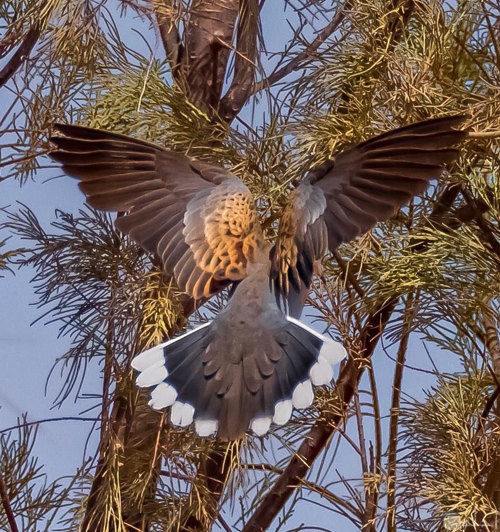 لقطة لطائر القماري و هو فاتح جناحه و زيله أثناء الطيران.