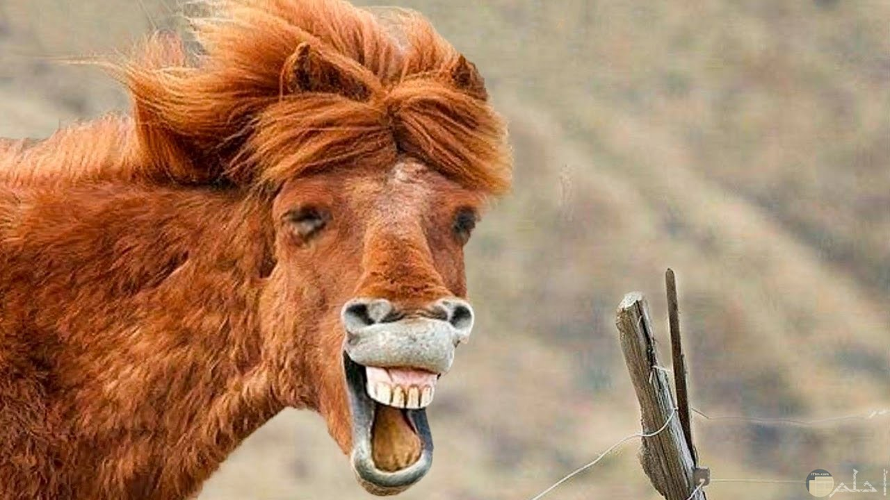 حصان - جنون الحيوانات