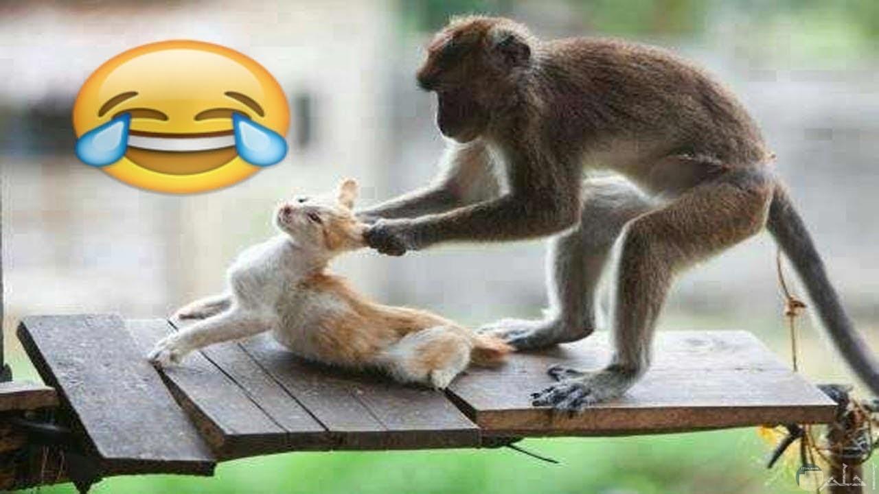 القرد و القطة.