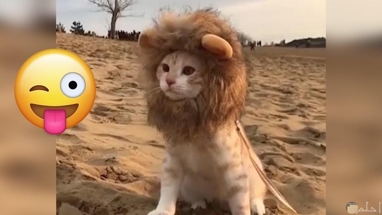 قطة بطقية تشبة فرو الأسد.