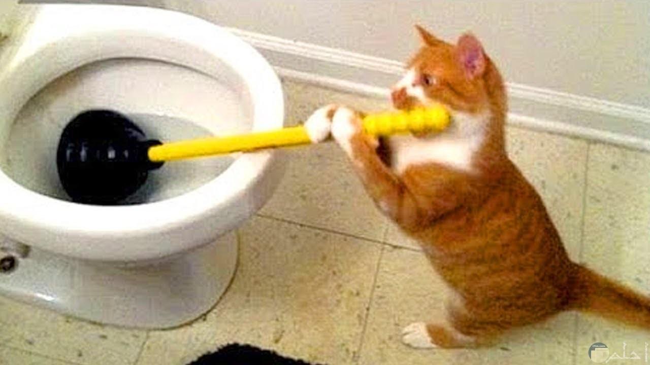 القطة الروشة تنظف التواليت.