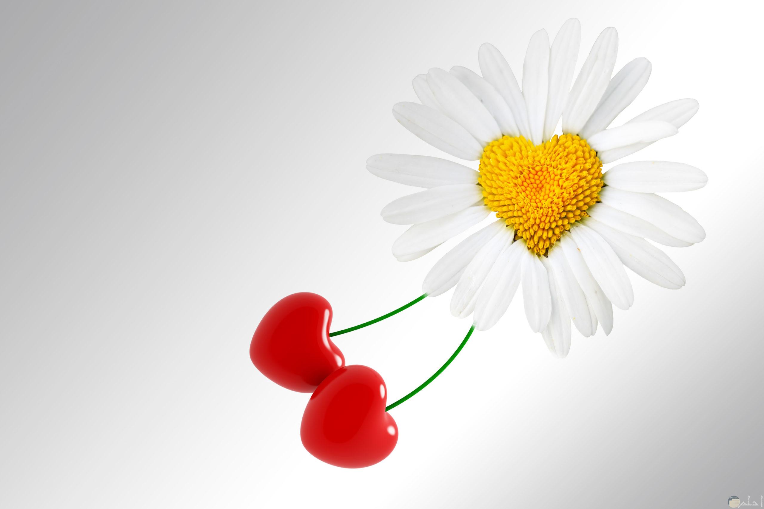 زهرة بيضاء رقيقة يخرج منها قلبين صغيرين.