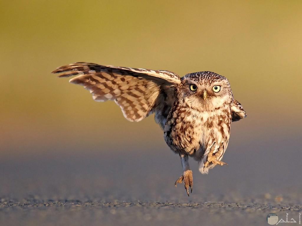 لقطة مضحكة لطائر البومة في الهواء مع وضع غريب.