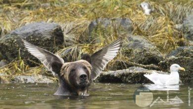 لقطة لدب في لحظة كان طائر يقف على ظهره و فاته جناحيه.