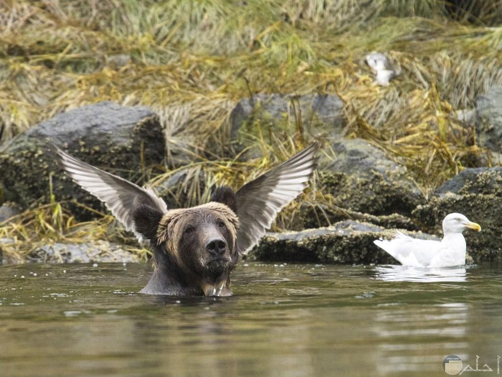 لقطة لدب في لحظة كان طائر يقف على ظهره و فاتح جناحيه.