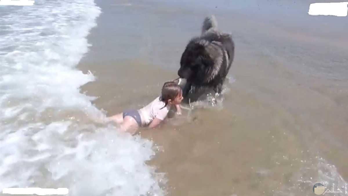 كلب ينقذ فتاة صغيرة من الغرق في البحر.