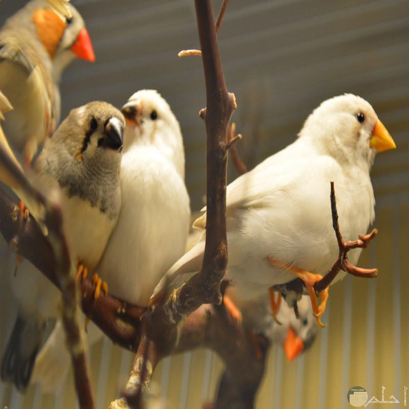 مجموعة رائعة من طيور الزيبرا