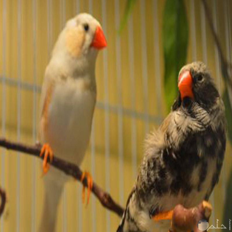 صورة جميلة لطيور الزيبرا