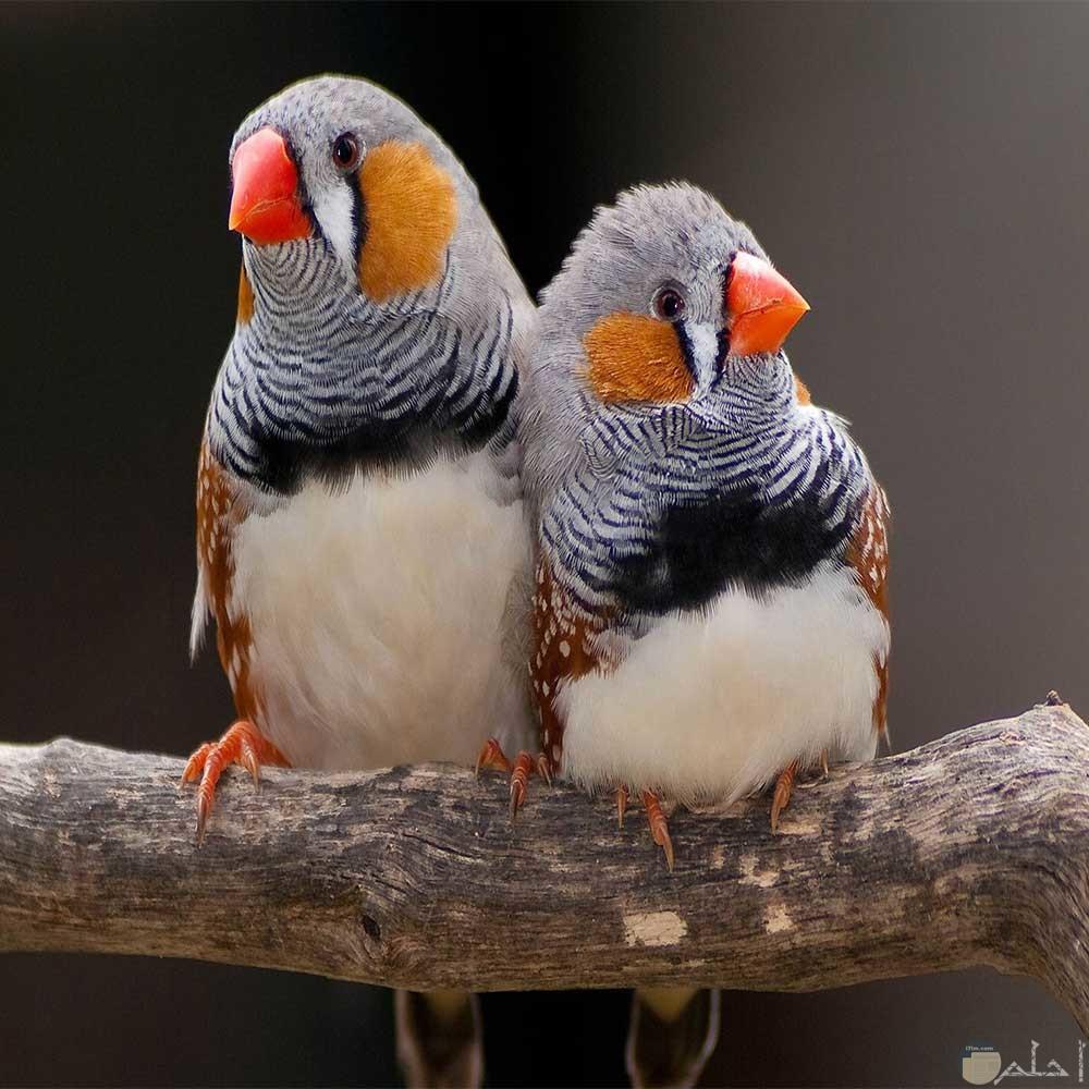 صورة زوجان من الزيبرا رومانسية