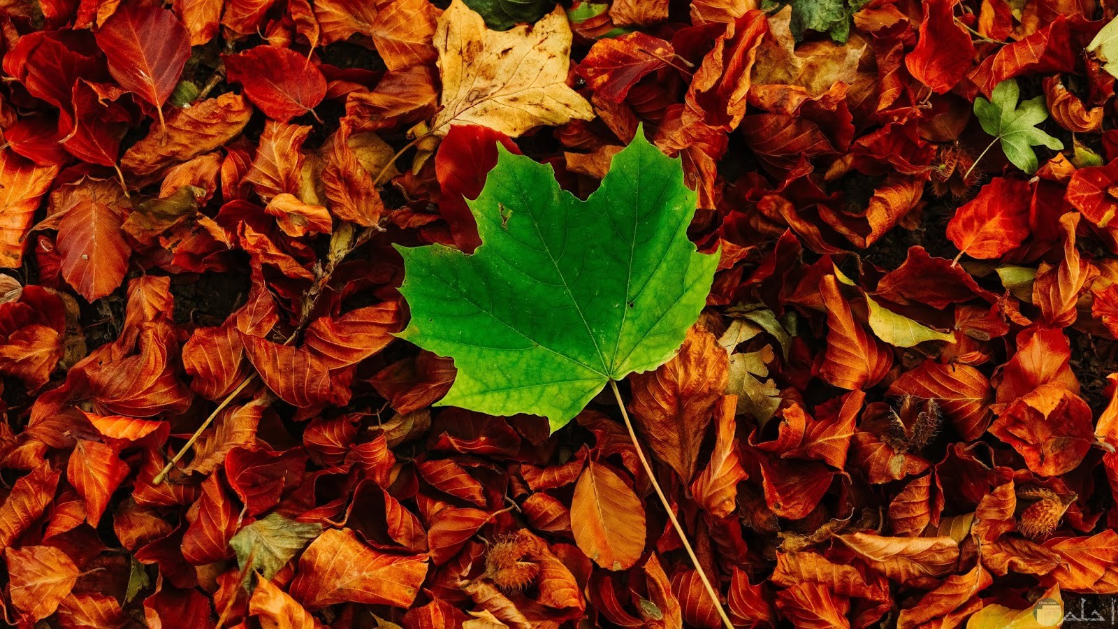 معبرة عن الأمل - ورقة شجر خضراء وسط الأوراق الميتة.