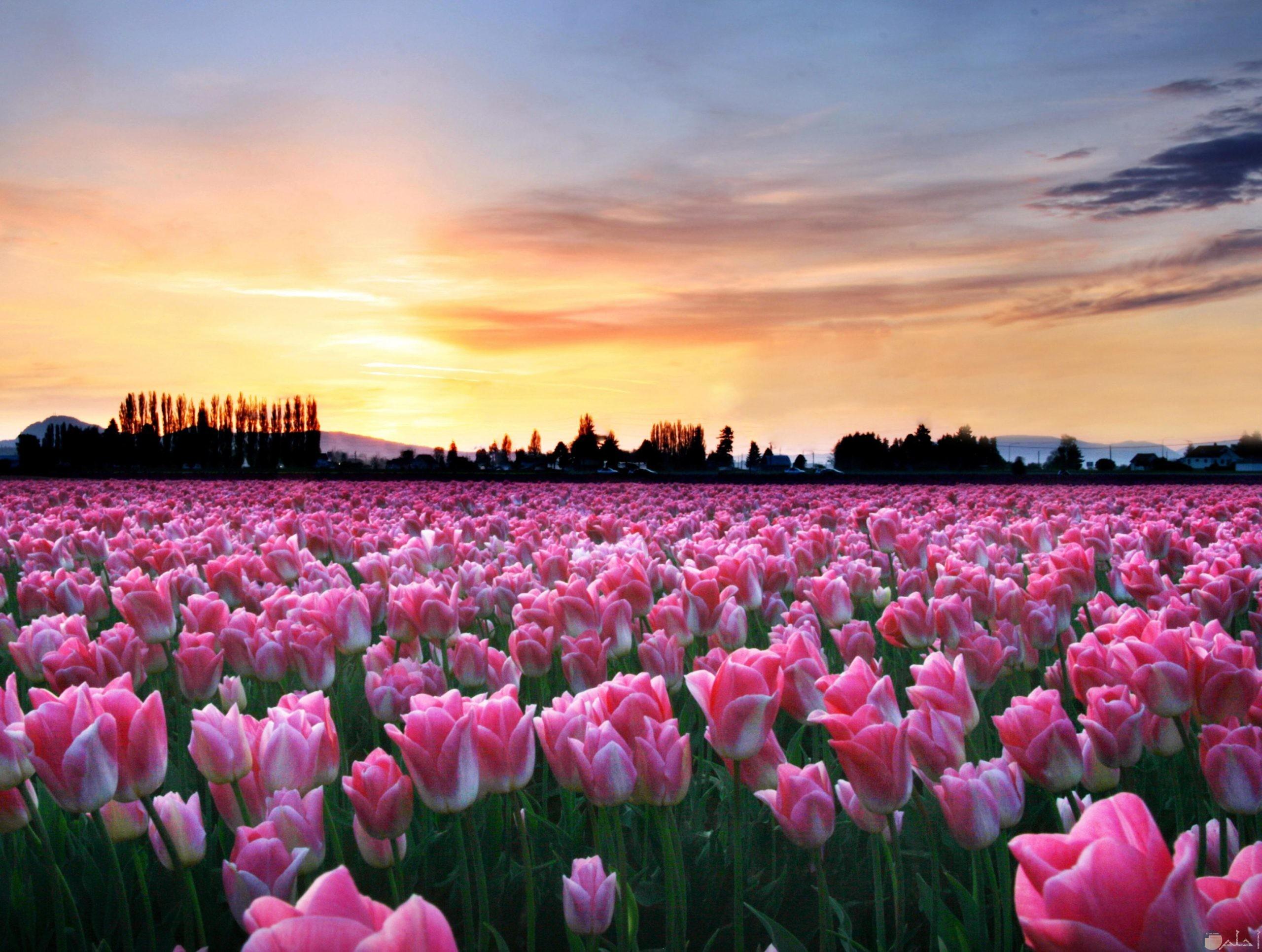 حقول الورد وقت الغروب.