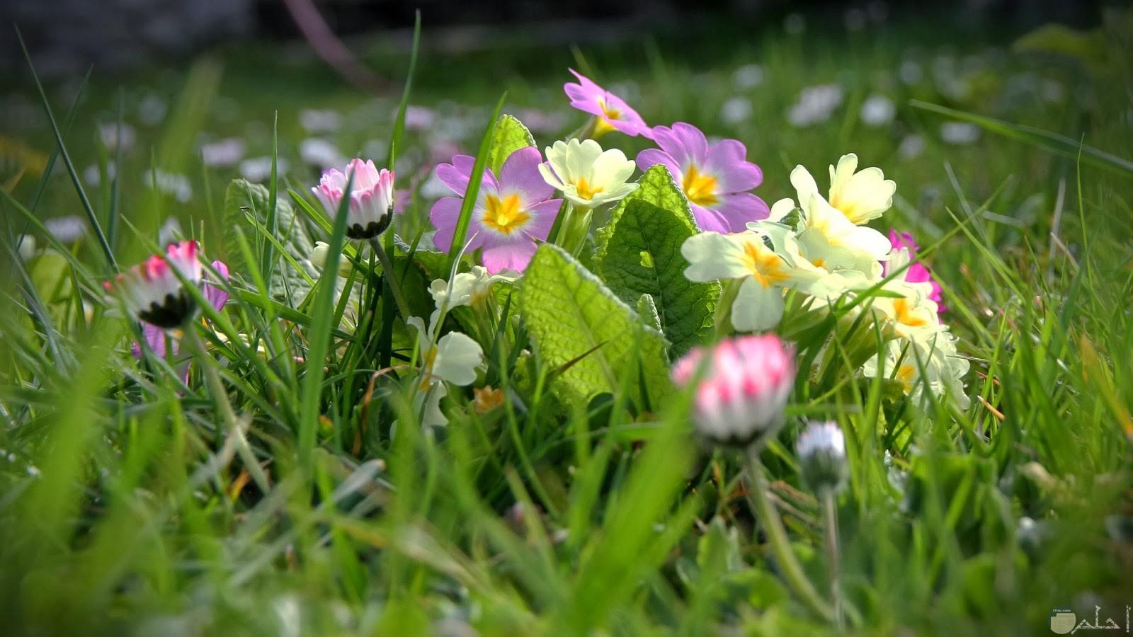 الربيع و التميز بالورود.