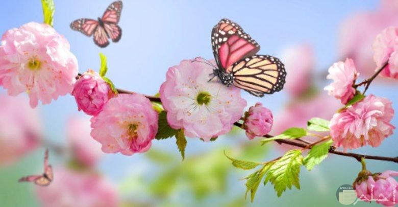 الفراشات و الربيع.