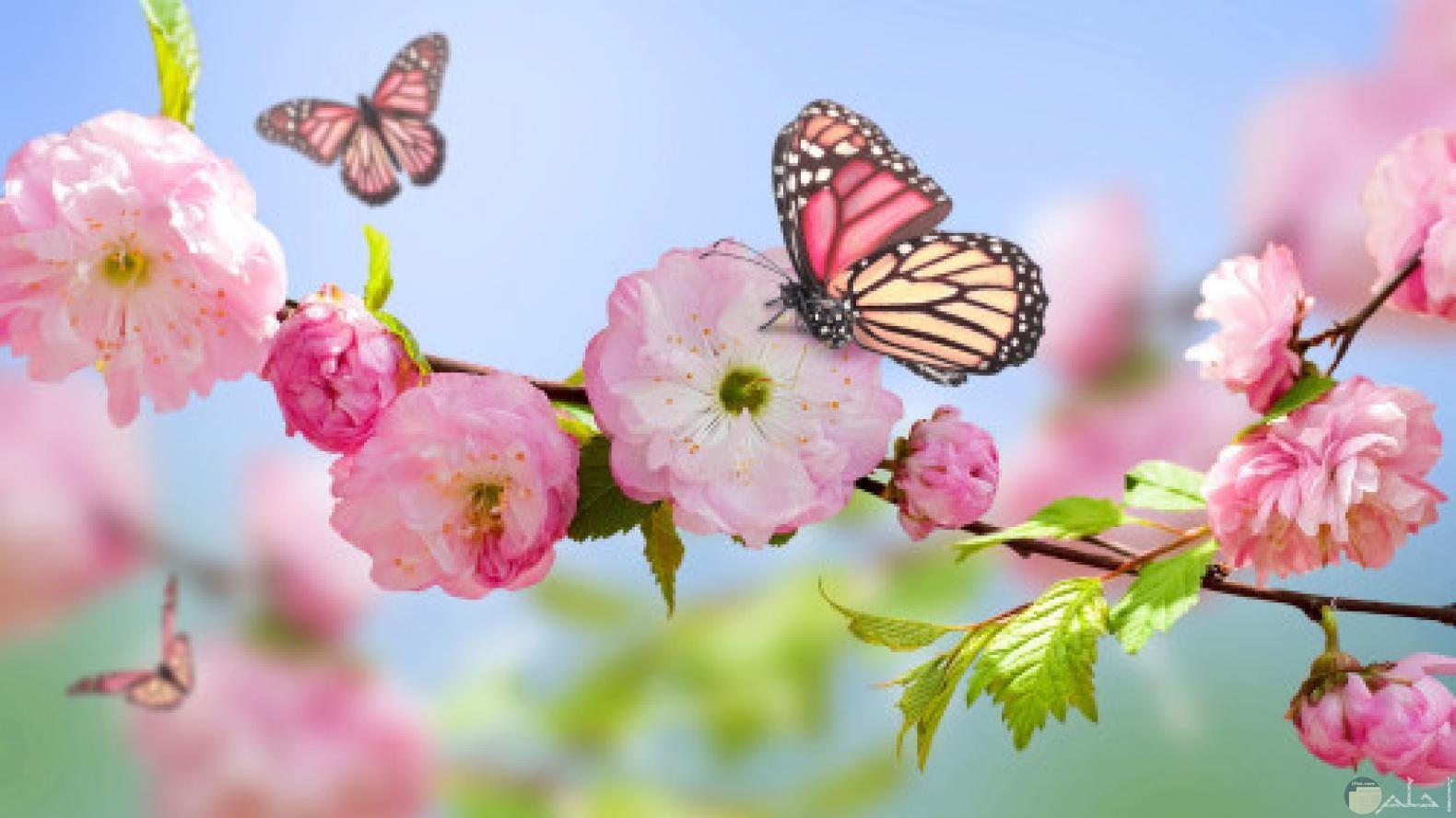 فراشات و زهور الربيع.