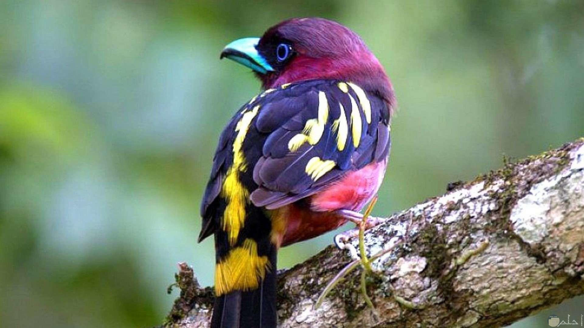 أجمل عصافير الكناريا حول العالم بألوانها المميزة النادرة.