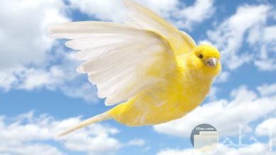 عصفور الكناري و هو يطير و يحلق في السماء.