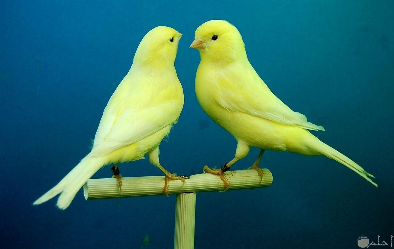 الكناري الأصفر الجميل.