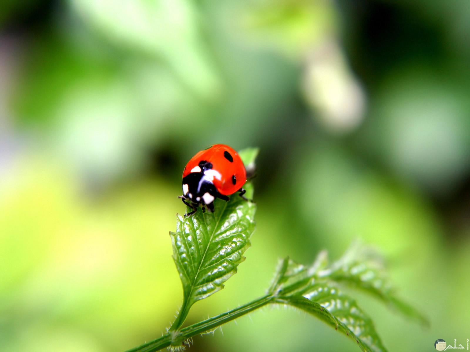 حشرة الدعسوقة بألوانها الزاهية الجميلة.