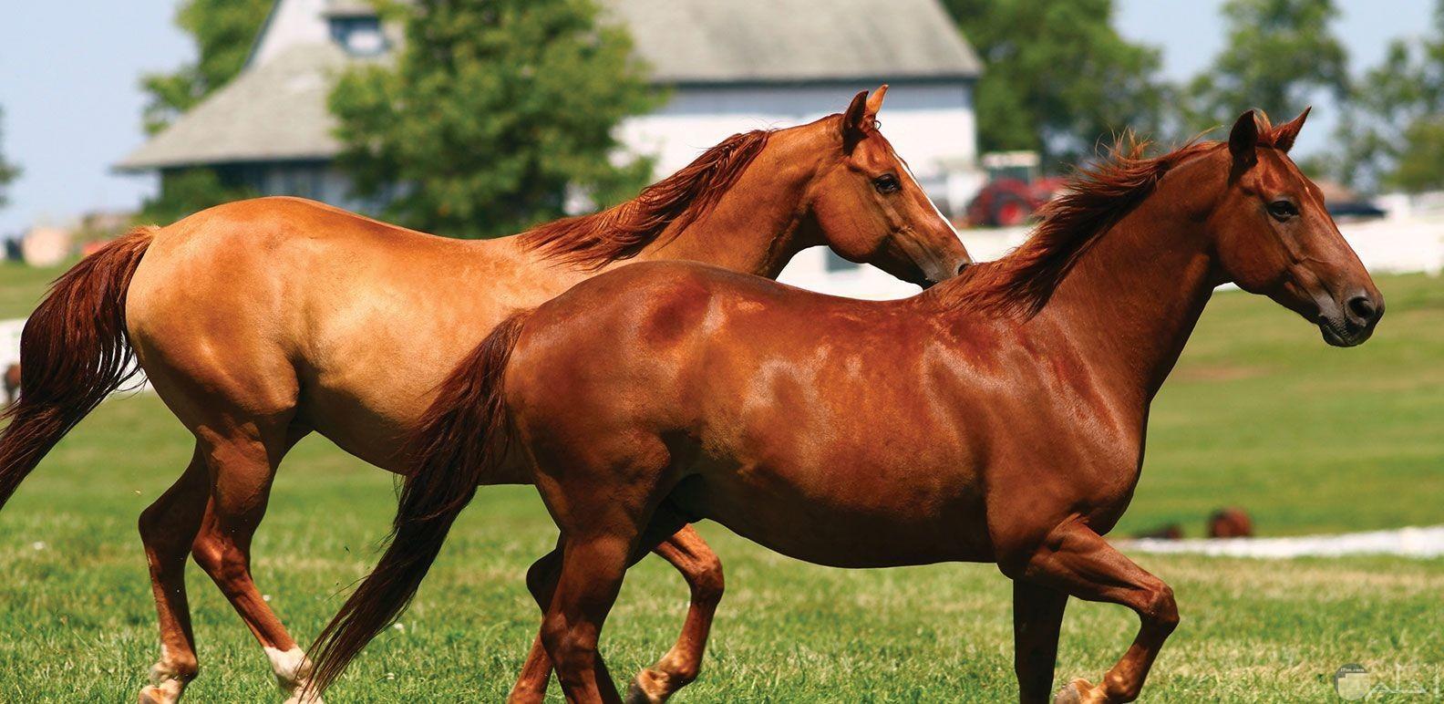مجموعة من الخيول العربية.