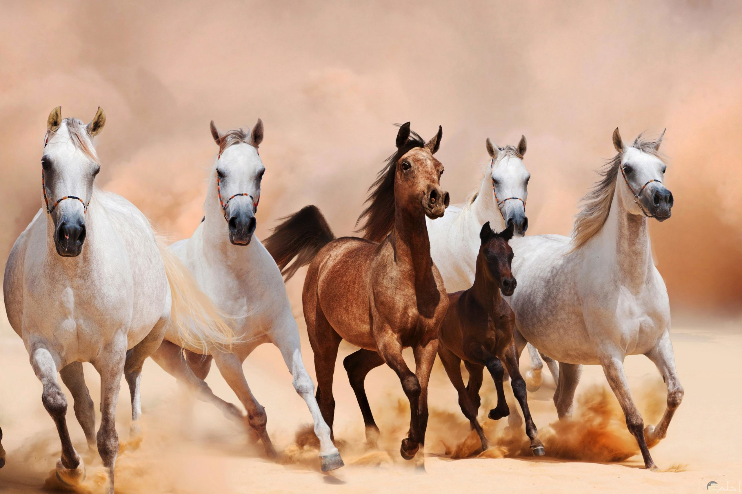 الخيل العربي في الصحراء.