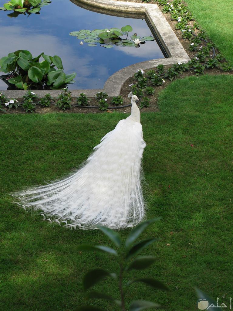 اجمل لقطات الطاووس الأبيض.