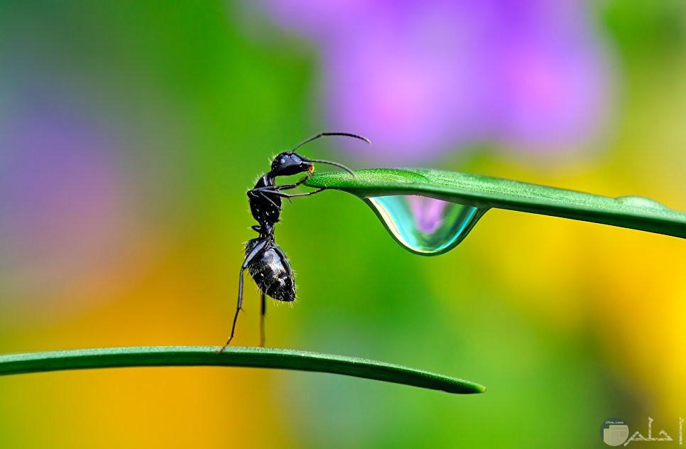 نملة تشرب من قطرة ماء على خصن شجرة و تقف على قدمين.