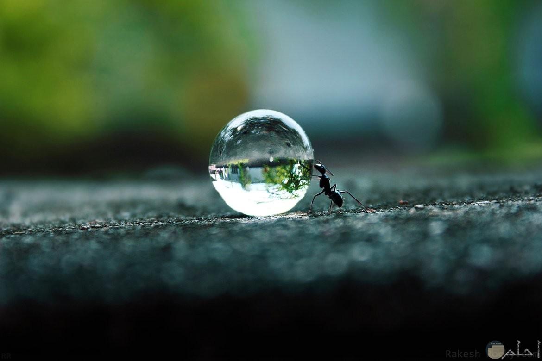 نملة و قطرة الندى.