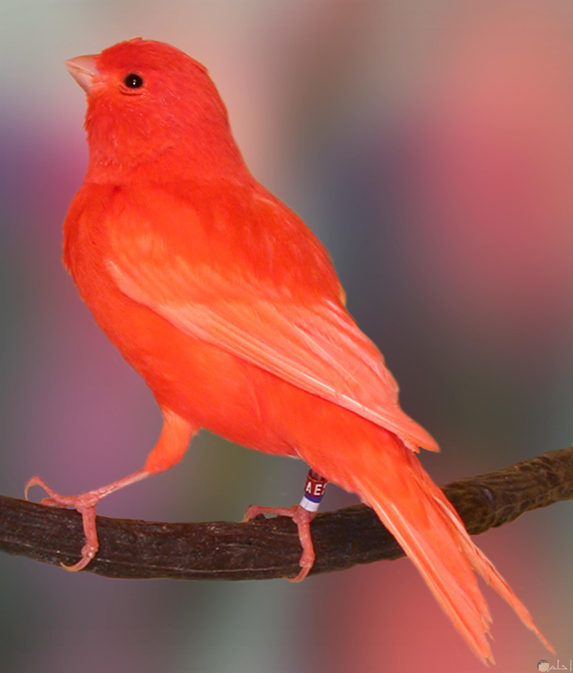 الجمال كناريا- لون زاهي يميل للأحمر.