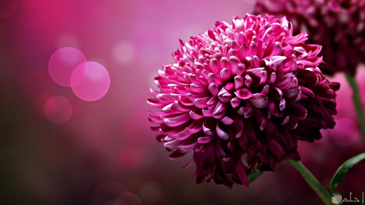 زهرة مثل حبات الرمان.