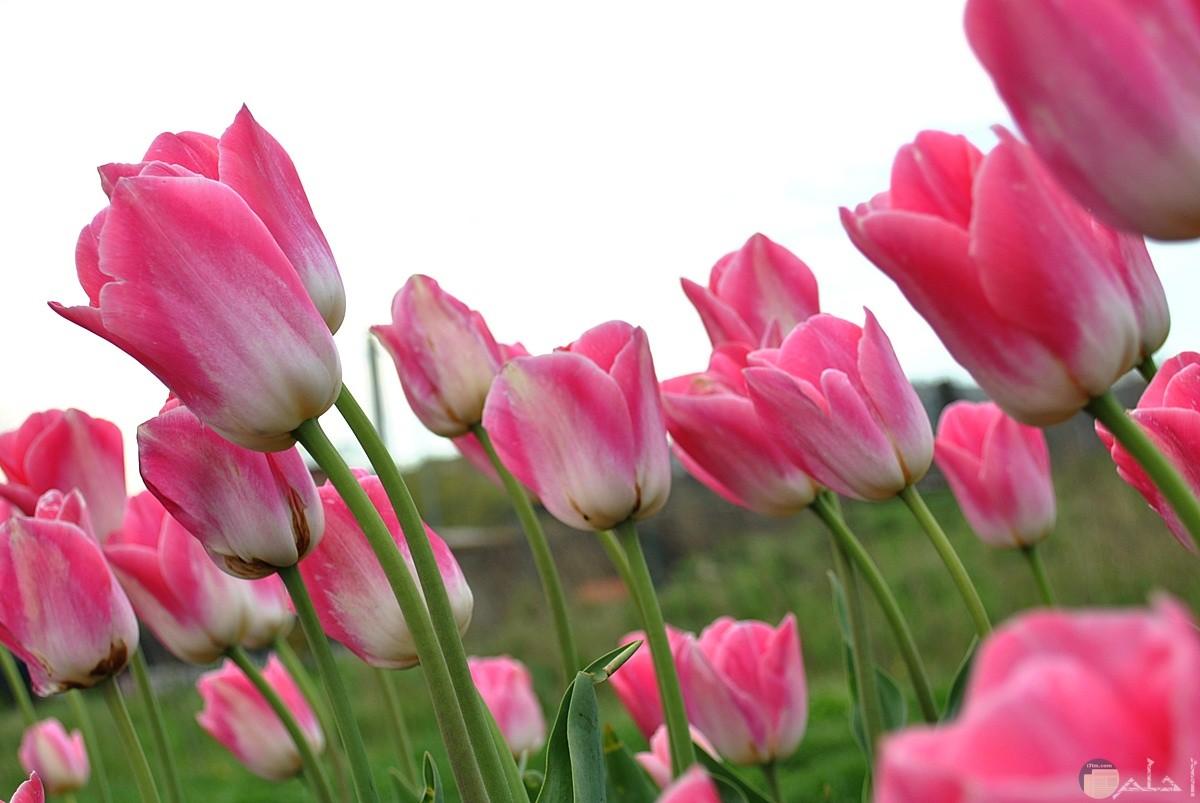 الربيع و الزهر المتفتح به.