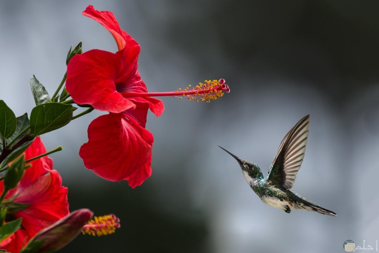 لقطات من الطبيعة لعصفور يشرب من رحيق وردة.